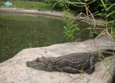 Jacaré - Sawgrass Recreation Park - Reptile Exhibit