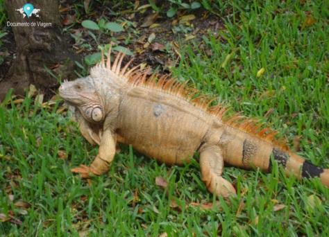 Iguana - Sawgrass Recreation Park - Reptile Exhibit